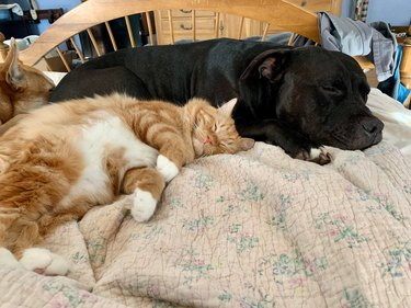 Cat and dogs napping together on bed