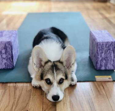 dog on yoga mat with blocks