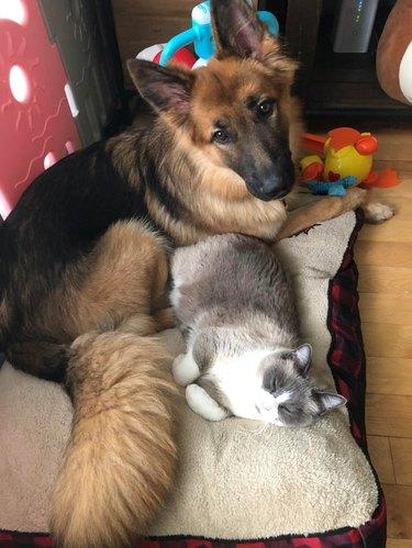 Cat and dog cuddling on single dog bed