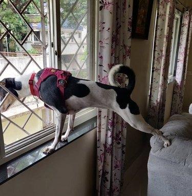dog doing yoga pose