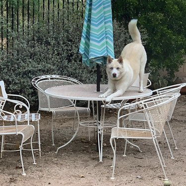 dog on patio table in downward dog