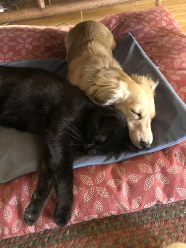 Cat and dog cuddling on a heating pad
