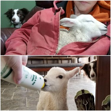 Border Collie looking on as human holds and bottle feeds a lamb