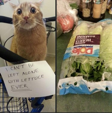 Cat being accused of attack bag of lettuce
