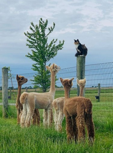Cat sitting on fence post surrounded by alpacas