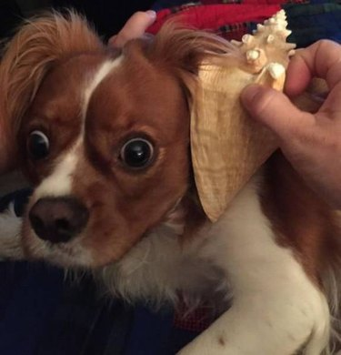 Dog looking alarmed while a conch shell is held up to its ear