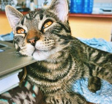 Cat gazing up adoringly