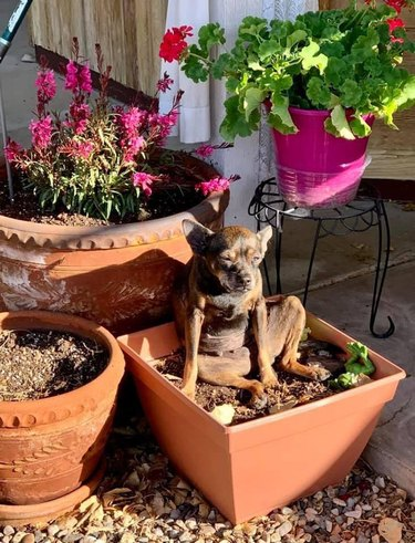 Small dog sitting in flower pot.