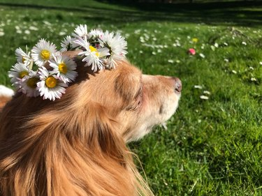 Dog in a grassy field wearing a flower crown