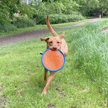 dog holding frisbee