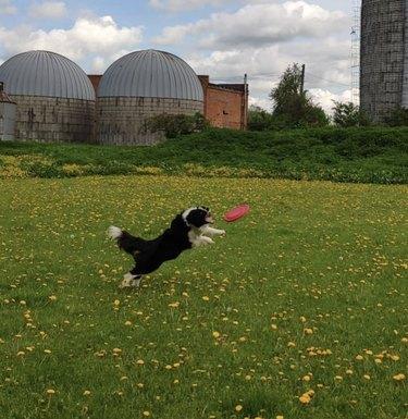dog jumping toward frisbee