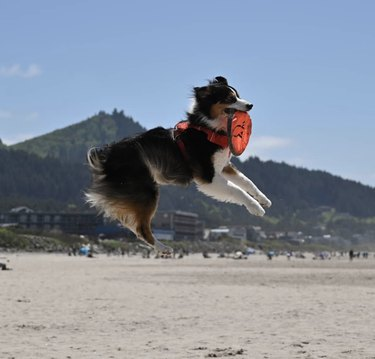 dog jumping with frisbee