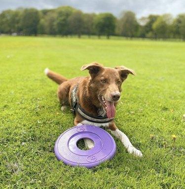 dog lying next to frisbee