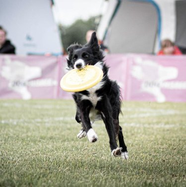 dog with frisbee in mouth