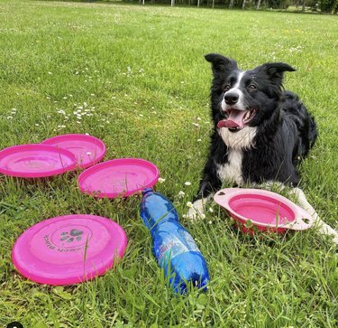 dog surrounded by frisbees