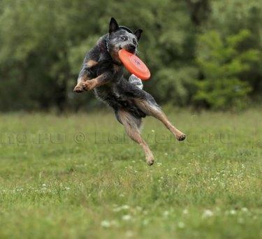 dog catching frisbee midair