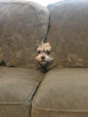 dog emerges from between couch cushions