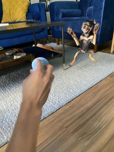 puppy fails at ball fetch