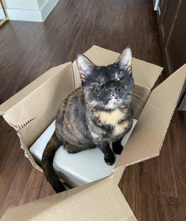 blind cat sits in box
