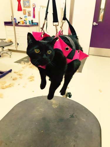 black cat hangs in harness for nail trimming