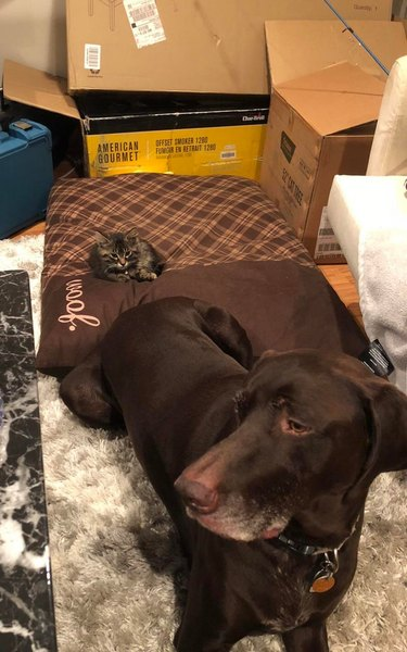 Chocolate Labrador sitting next to large dog bed with tiny kitten on it