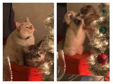 Cats looking at Christmas tree start fighting
