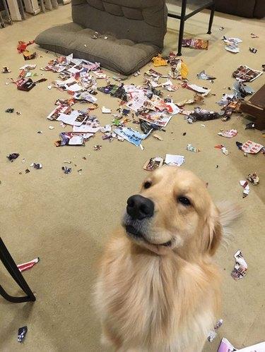 Golden Retriever dog looking proud in front of torn magazine