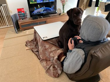 Adult Chocolate Labrador dog sitting on lap of person playing video games