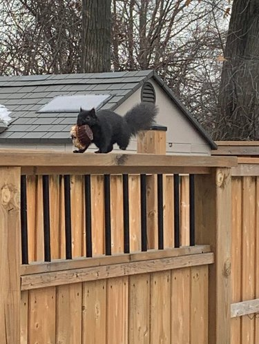 Squirrel carrying whole muffin in its mouth