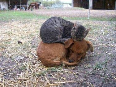 kitten sleeps on puppy