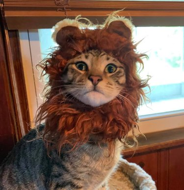 cat wearing lion hats