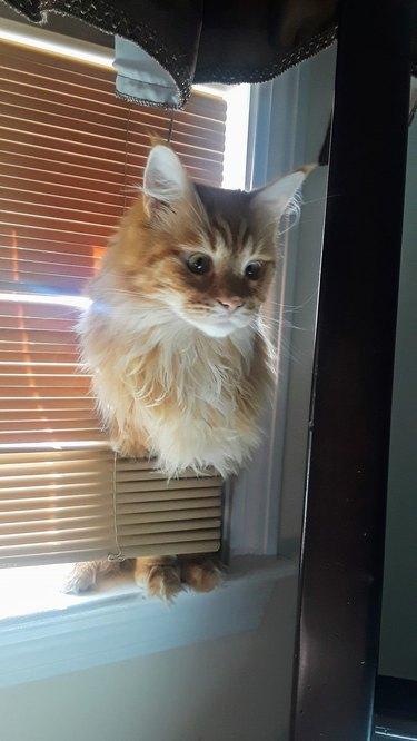 cat sticks head through blinds