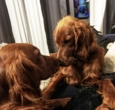 two dogs touching noses