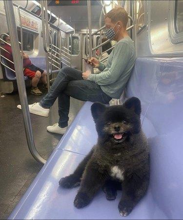 Pomeranian with teddy bear cut sitting on subway