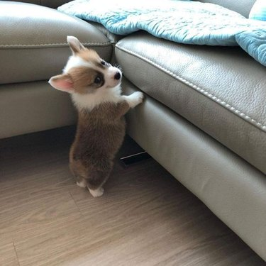 Corgi puppy trying to jump onto couch
