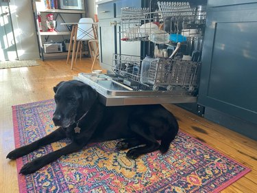 Elderly black Labrador laying directly in front of dishwasher
