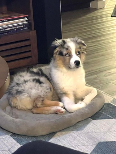 Dog laying on dog bed with front paws in an unusual position