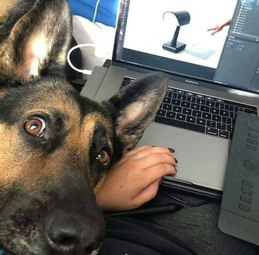 German Shepherd trying to get attention from person working on laptop