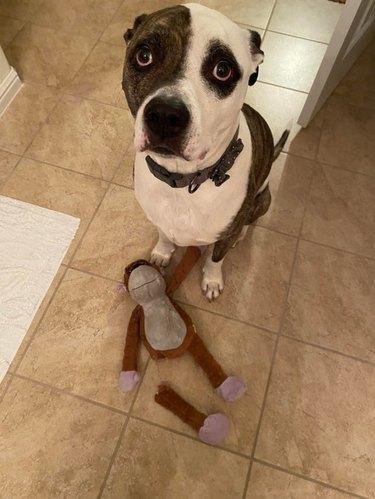 Sad dog sitting next to toy monkey with one leg ripped off