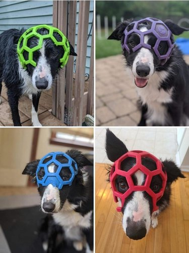 Four pictures of dog wearing chromatic variations of the same ball on its head like a helmet