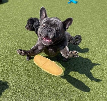 French Bulldog lunging for hot dog shaped squeaky toy