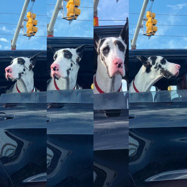 Great Dane sticking its head out truck window