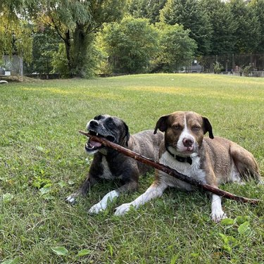two dogs with big stick
