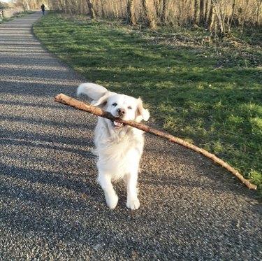 dog carrying huge stick