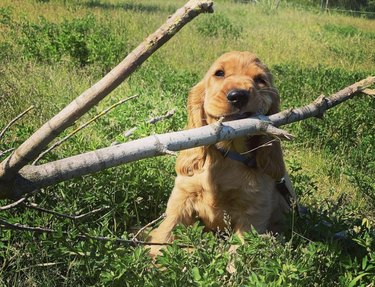 dog chewing on huge stick