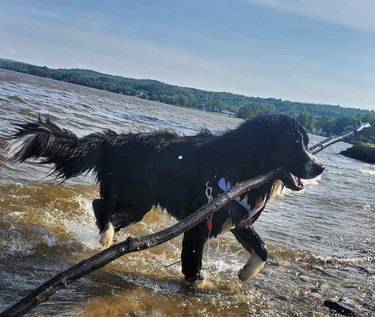 dog in water with big stick