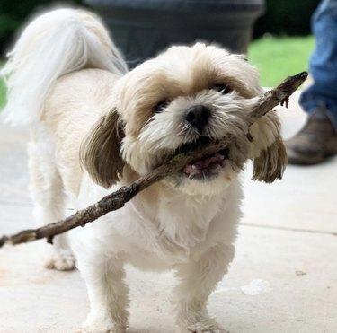 small dog with big stick