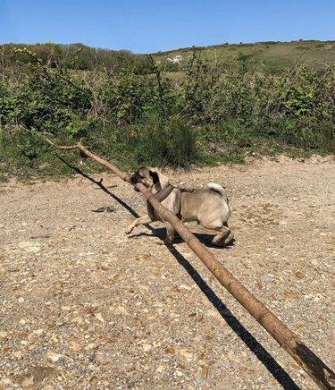 pug dog carrying big, long stick