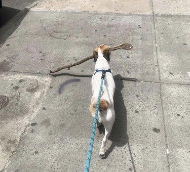 dog walking with big stick