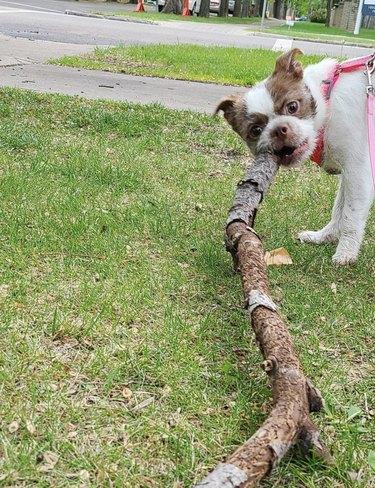 dog with huge stick